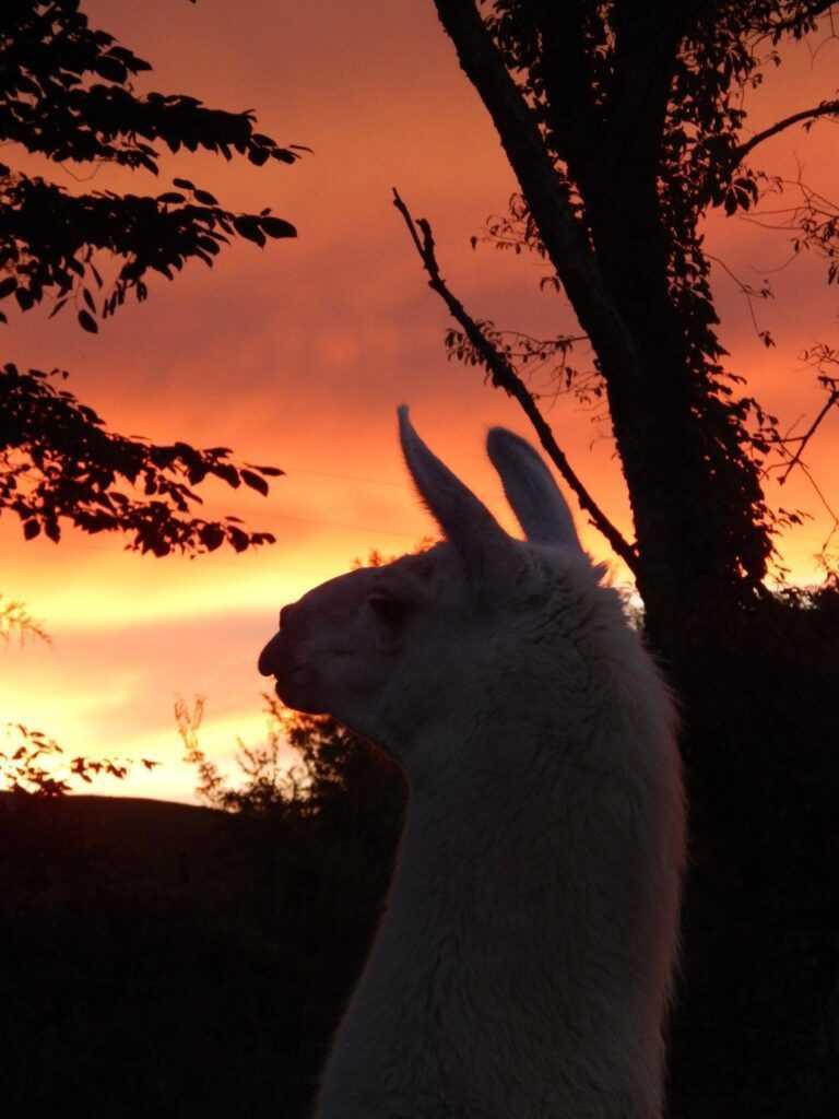 Wandering Llamas